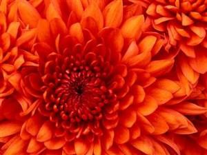 ChrysanthemumSmall